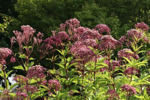 Großer Wasserdost 'Purple Bush' - Eupatorium fistulosum 'Purple Bush'