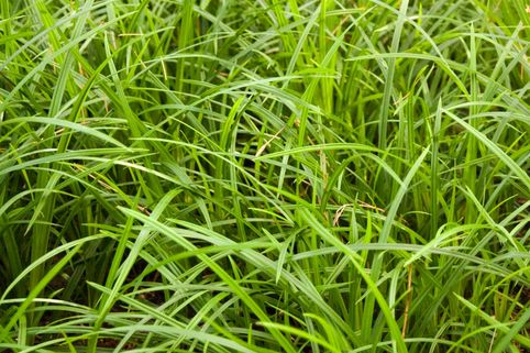 Grünblättrige Segge 'Irish Green' - Carex foliosissima 'Irish Green'