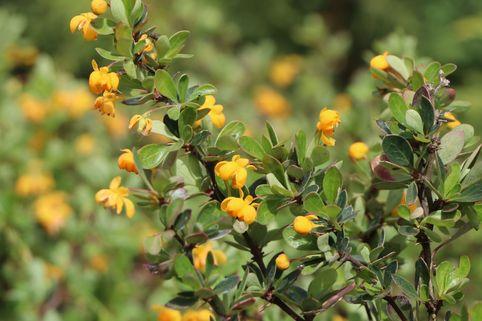 Grüne Polster-Berberitze 'Nana' - Berberis buxifolia 'Nana'