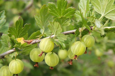 Grüne Stachelbeere 'Reflamba' - Ribes uva-crispa 'Reflamba'