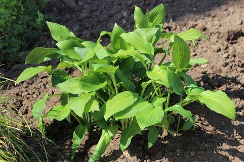 Grüne Wellblatt-Funkie 'Erromena' - Hosta undulata 'Erromena'
