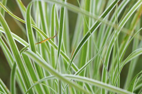 Grünweiße Segge 'Everest' ® - Carex oshimensis 'Everest' ®