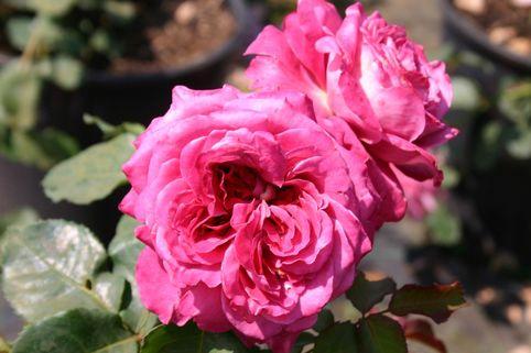 Guillot Rose 'Agnes Schilliger' ® - Rosa 'Agnes Schilliger' ®
