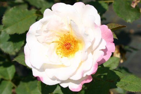 Guillot Rose 'Aurore de Jacques-Marie' ® - Rosa 'Aurore de Jacques-Marie' ®