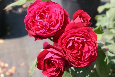 Guillot Rose 'Bicentenaire de Guillot' ® - Rosa 'Bicentenaire de Guillot' ®