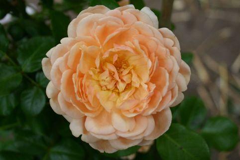Guillot Rose 'Elizabeth Stuart' ® - Rosa 'Elizabeth Stuart' ®