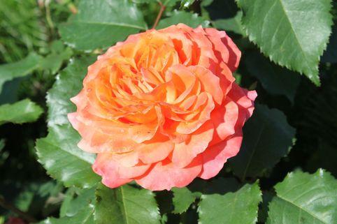 Guillot Rose 'Emilien Guillot' ® - Rosa 'Emilien Guillot' ®