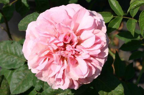Guillot Rose 'Francis Blaise' ® - Rosa 'Francis Blaise' ®