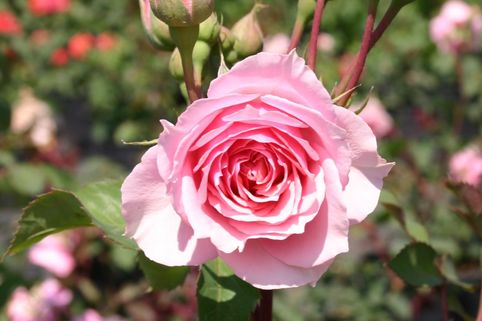 Guillot Rose 'La Rose Bordeaux' ® - Rosa 'La Rose Bordeaux' ®