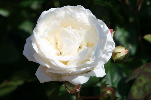 Guillot Rose 'Manuel Canovas' ® - Rosa 'Manuel Canovas' ®