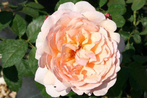 Guillot Rose 'Mme Paule Massad' ® - Rosa 'Mme Paule Massad' ®