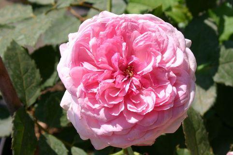 Guillot Rose 'Orsola Spinola' ® - Rosa 'Orsola Spinola' ®