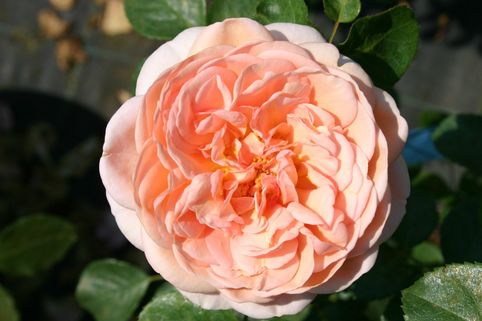 Guillot Rose 'Paul Bocuse' ® - Rosa 'Paul Bocuse' ®