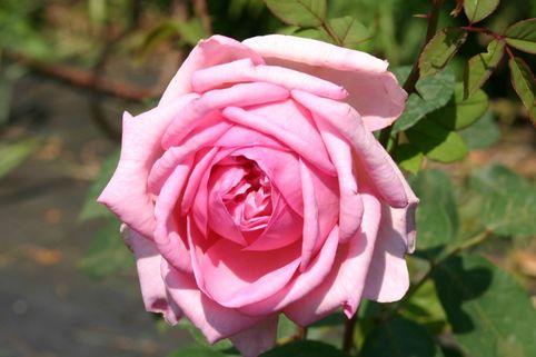 Guillot Rose 'Sonia Rykiel' ® - Rosa 'Sonia Rykiel' ®