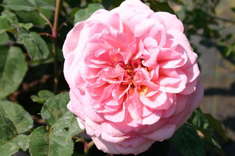 Guillot Rose 'Veronique B.' ® - Rosa 'Véronique B.' ®