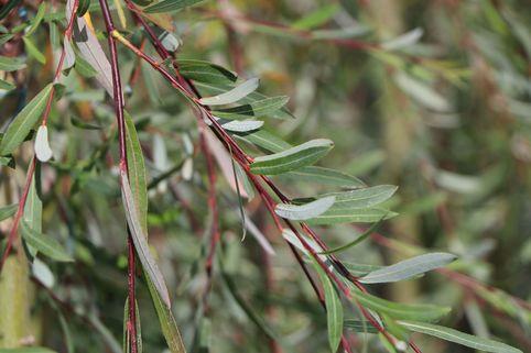 Hänge-Purpurweide 'Pendula' - Salix purpurea 'Pendula'