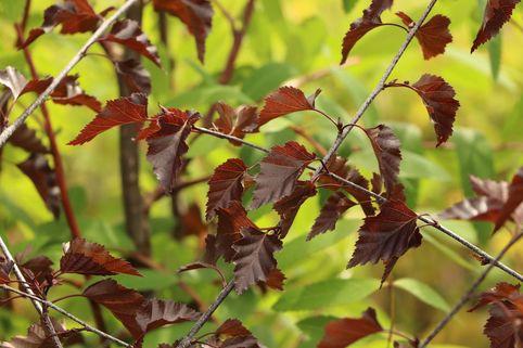 Hängebirke / Sandbirke / Weißbirke 'Royal Frost' - Betula pendula 'Royal Frost'