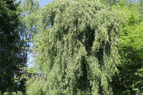 Hängebirke 'Tristis' - Betula pendula 'Tristis'