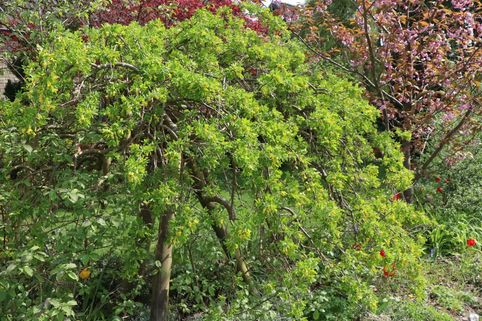 Hängender Erbsenstrauch - Caragana arborescens 'Pendula'