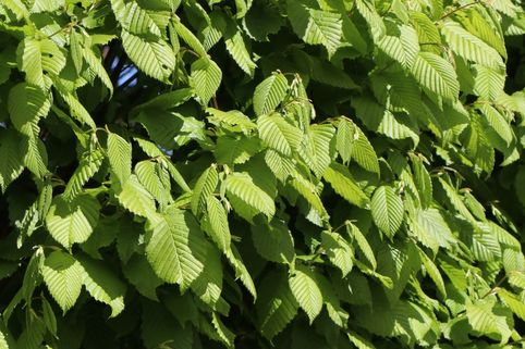 Hainbuche 'Lucas' - Carpinus betulus 'Lucas'