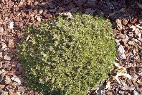 Hakenkiefer / Berg-Spirke / Aufrechte Berg-Föhre - Pinus uncinata