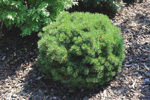 Hakenkiefer 'Heideperle' - Pinus mugo 'Heideperle'