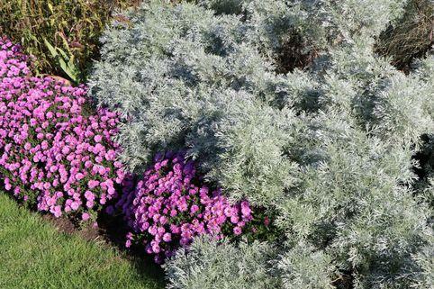 Halbstrauchiger Wermut 'Powis Castle' - Artemisia arborescens 'Powis Castle'