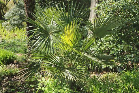 Hanfpalme - Trachycarpus fortunei / Chamaerops excelsa