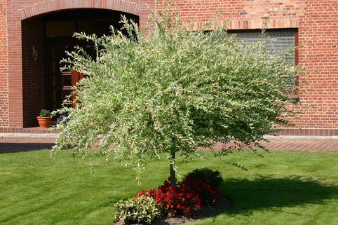 Harlekinweide / Zierweide 'Hakuro Nishiki' - Salix integra 'Hakuro Nishiki'