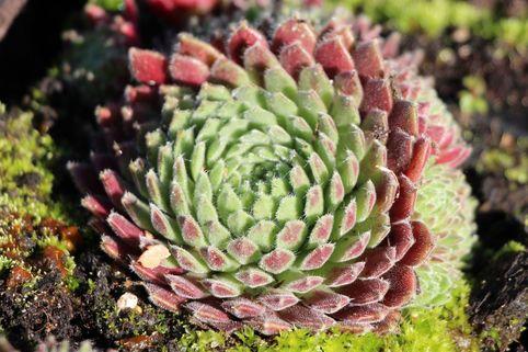 Hauswurz 'Crimson Velvet' - Sempervivum x cultorum 'Crimson Velvet'