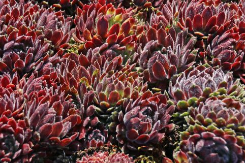 Hauswurz 'Hey Hey' - Sempervivum x cultorum 'Hey Hey'