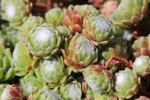 Hauswurz 'Silberkarneol' - Sempervivum arachnoideum 'Silberkarneol'
