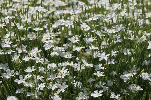 Heide-Nelke 'Albus' - Dianthus deltoides 'Albus'
