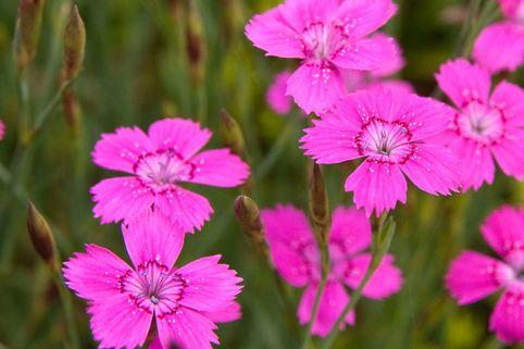 Heide-Nelke 'Roseus' - Dianthus deltoides 'Roseus'