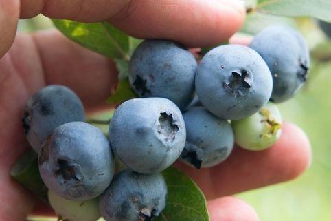 Heidelbeere 'Brigitta' - Vaccinium corymbosum 'Brigitta'