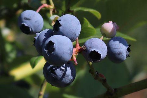 Heidelbeere 'Caroline Blue' ® - Vaccinium corymbosum 'Caroline Blue' ®