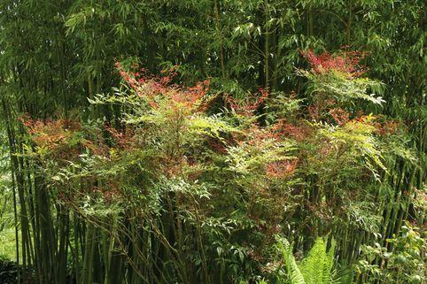 Heiliger Bambus / Himmelsbambus - Nandina domestica