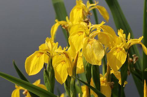 Heimische Sumpf Schwertlilie - Iris pseudacorus