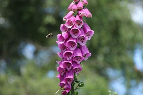 Heimischer Fingerhut - Digitalis purpurea