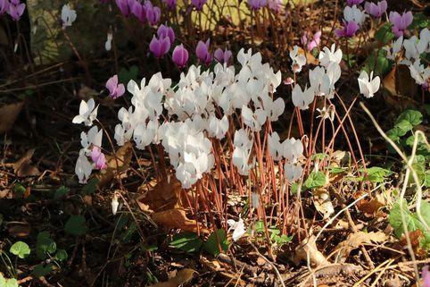 Herbst Alpenveilchen 'Album' - Cyclamen hederifolium 'Album'