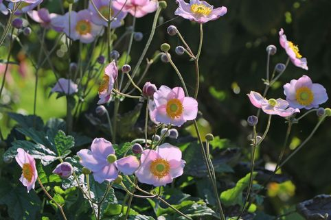 Herbst-Anemone 'Pink Saucer' - Anemone japonica 'Pink Saucer'