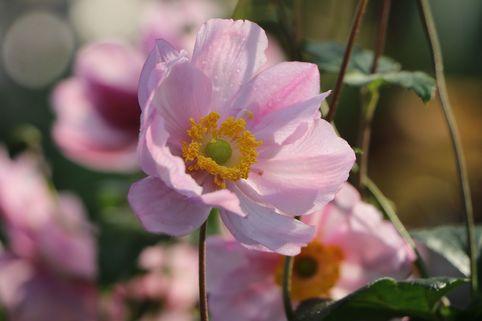 Herbst-Anemone 'Serenade' - Anemone tomentosa 'Serenade'