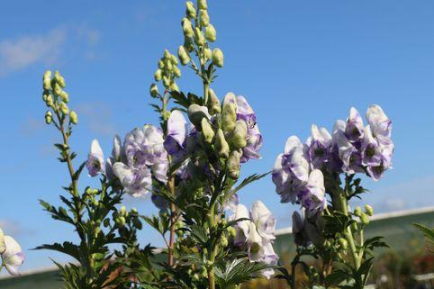 Herbst-Eisenhut 'Cloudy' - Aconitum carmichaelii 'Cloudy'