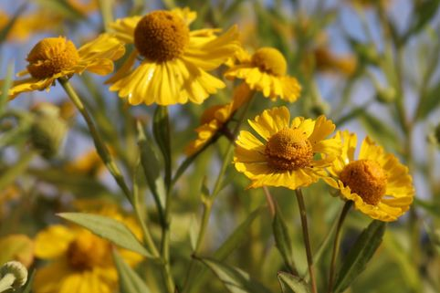 Herbst-Sonnenbraut 'Helena Yellow' - Helenium autumnale 'Helena Yellow'