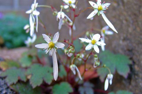 Herbst-Steinbrech 'Rokujo' - Saxifraga cortusifolia var. fortunei 'Rokujo'