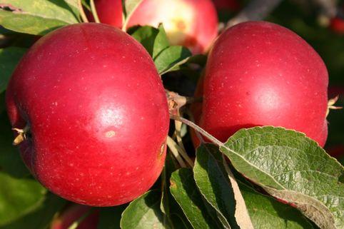 Herbstapfel 'Akane' / 'Prime Rouge' / 'Primrouge' - Malus 'Akane'