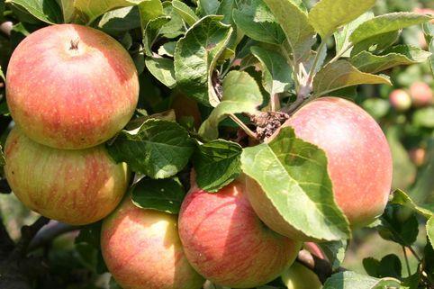 Herbstapfel Alkmene