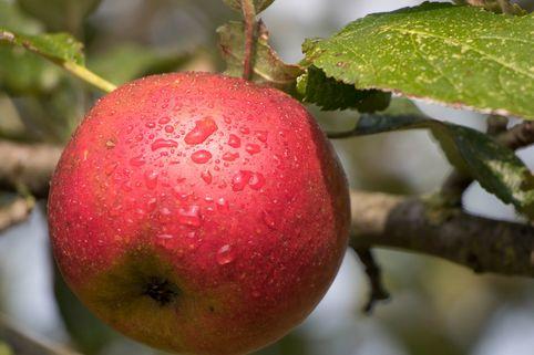Herbstapfel 'Biesterfelder Renette' - Malus 'Biesterfelder Renette'