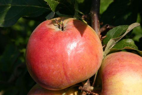 Herbstapfel 'Carola' / 'Kalco' - Malus 'Carola' / 'Kalco'