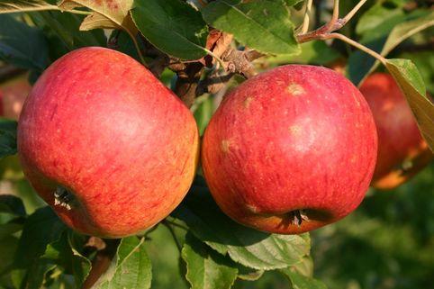 Herbstapfel 'Charles Ross' - Malus 'Charles Ross'